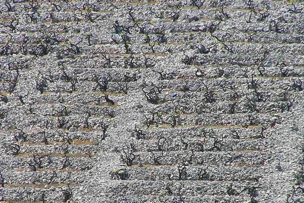 vinograd bucavac babič vino
