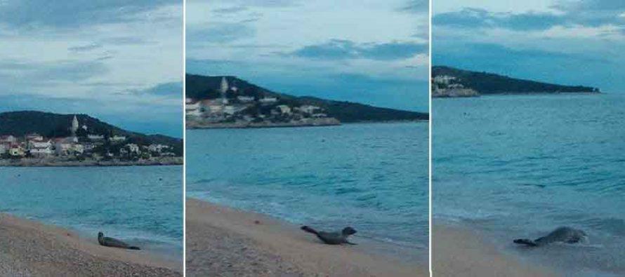 Morski čovik na odmoru u Primoštenu