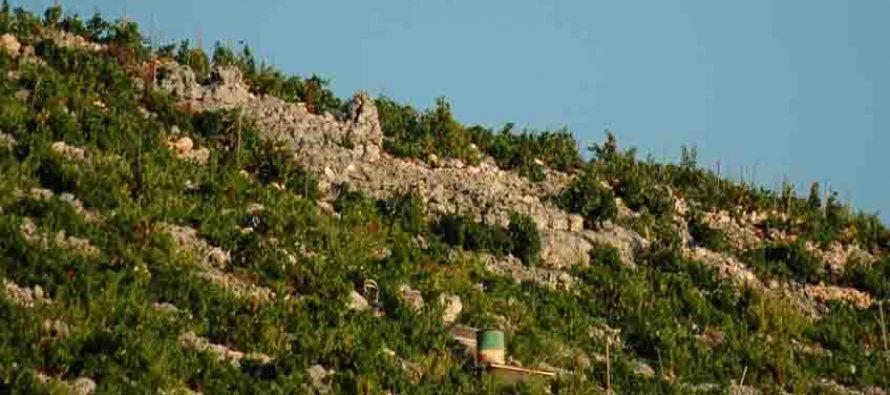 Primoštenski vinogradar na meti: lopovi odnijeli pocinčane kolce