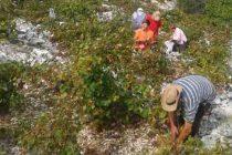 Šibenska Vinarija počinje otkup grožđa