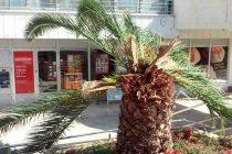 Primoštenske palme uništava crvena palmina pipa ?