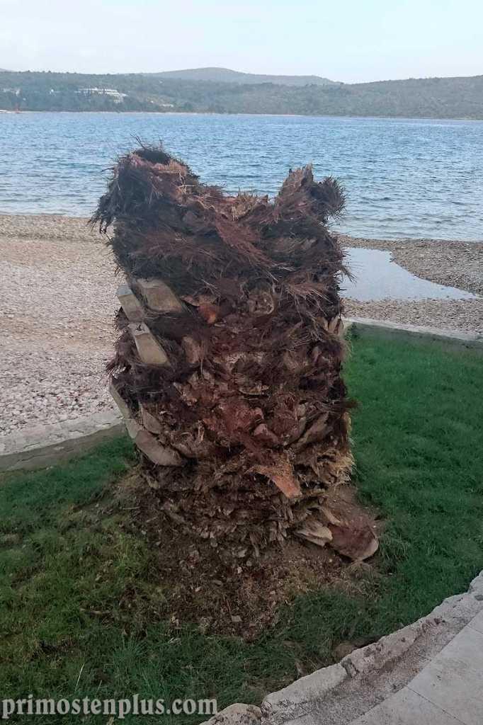uništena palma od nametnika