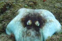 Fantastična kamuflaža hobotnice