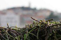 Uberite do pet stručaka šparoga, ali samo uz dozvolu Hrvatskih šuma