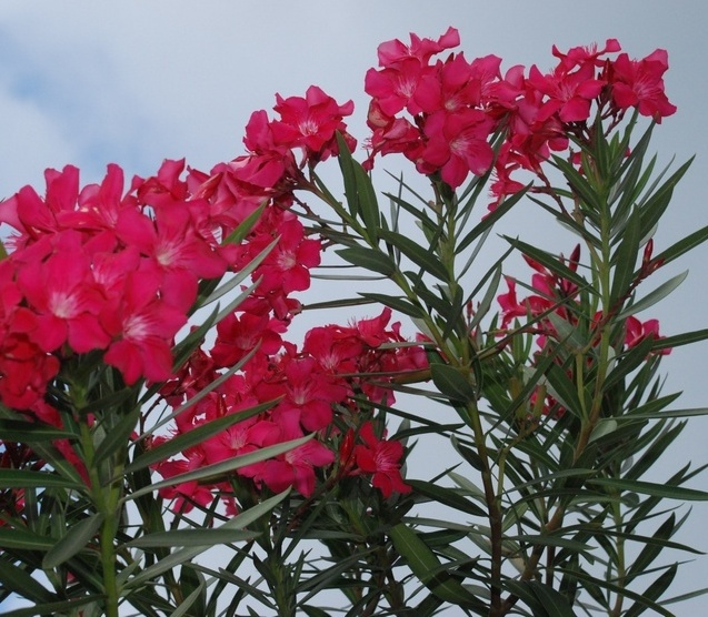 oleander_08