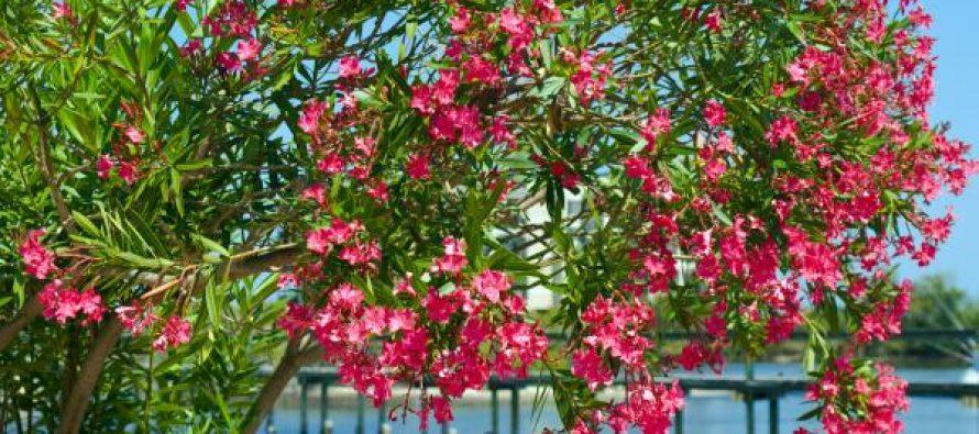 Počela sadnja oleandra na Trgu don Ive Šarića