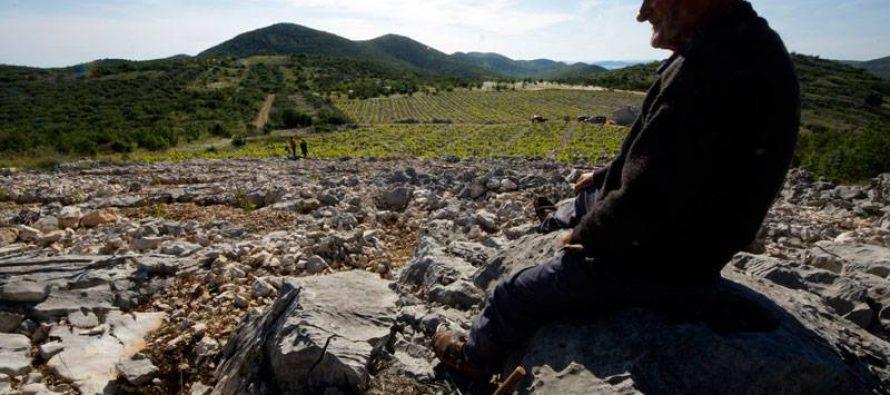 Uzgoj vinove loze u vlačicama primoštenskog kraja