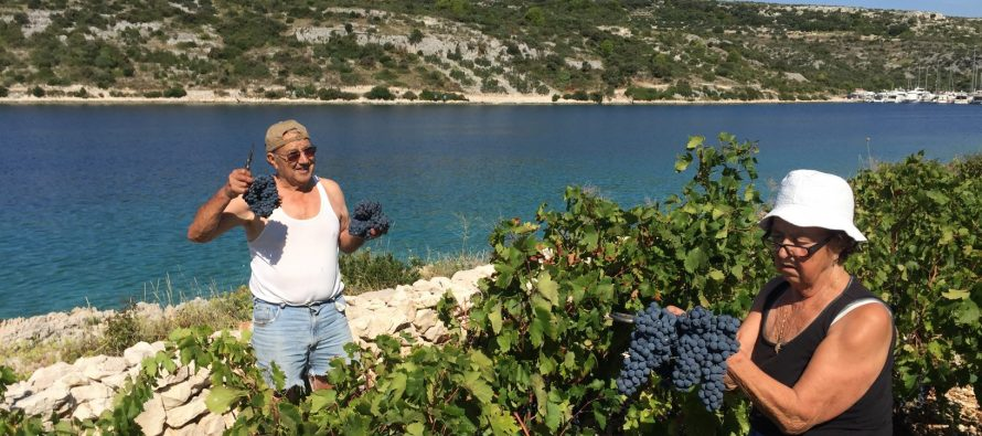 FOTO: Počela berba grožđa u primoštenskim vinogradima