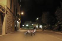 Lisica uočena na pisku, pripazite !